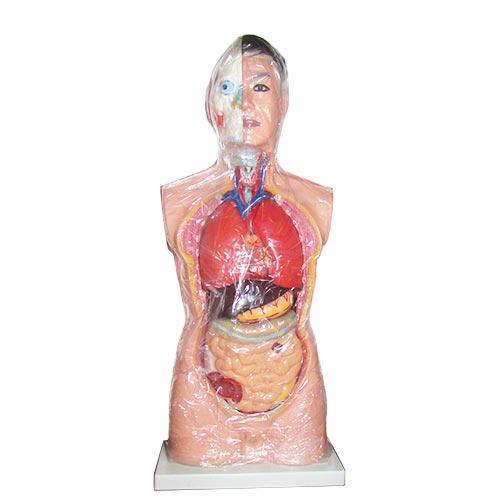 مولاژ بدن انسان - آناتومی بدن انسان سایز یک یکم نیم تنه بالایی