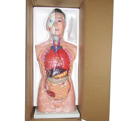 بسته بندی و کارتن مولاژ بدن انسان - آناتومی بدن انسان سایز یک یکم نیم تنه بالایی
