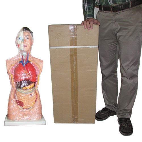 نمایی از مقایسه ابعاد مولاژ بدن انسان - آناتومی بدن انسان سایز یک یکم نیم تنه بالایی